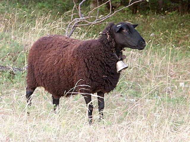 J Cole Mouton brun, ovis arie...