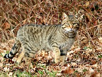 Chat sauvage ou chat forestier
