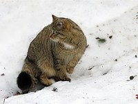Chat sauvage en hiver