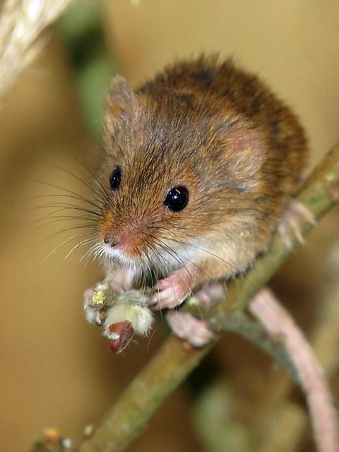 Cadeaux pour Twitchip Rat-moisson_3