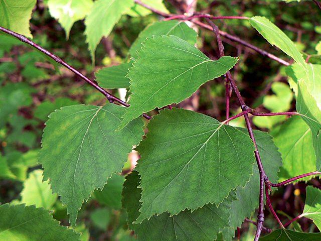 Bouleau verruqueux betula pendula - Feuille de bouleau photo ...