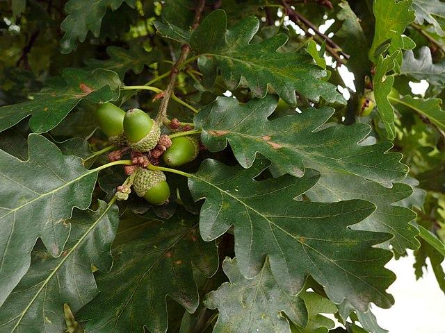 Chne Sessile Quercus Sessiliflora
