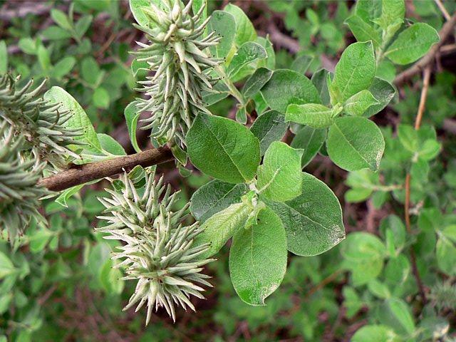 Saule Marsault Salix Caprea