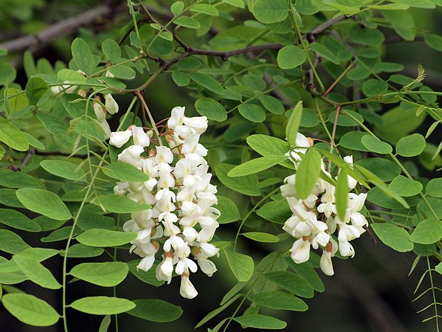 Les fleurs du robinier robinia pseudacacia for Fleurs internet