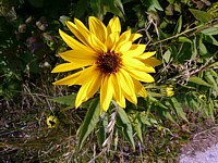 Hélianthe raide, helianthus rigidus